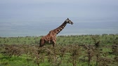 camelopardalis : Side View Of Giraffe Standing On A Hill Among Bushes With Thorns In Wild African