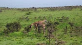 жираф : Giraffes Graze Leaves In Thickets Of Thorny Bushes On A Green Pasture In Africa Стоковые видеозаписи