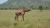 akác : Wild Giraffe In Grassland Eating Grass Stretching Its Front Legs Out To Sides