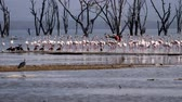 kuş sürüsü : A Flock Of Pink Flamingos Walk Along The Shore On The Water In Lake Nakuru Stok Video