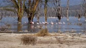 kuş sürüsü : Flock Of Pink Flamingos In Lake Nakuru Walk Among The Mangroves