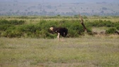 struś : Ostrich Grazing In The African Savanna Wildlife