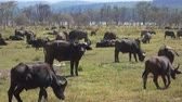 bulle : Huge Herd Of Buffalo In The Pasture In The African Wild