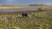dry season : Buffalo Is Smeared With Mud From Heat Grazing By The Pond In African Savannah