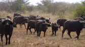bulle : Herd Of Buffalo Walking On A Dusty Ground In The African Savannah
