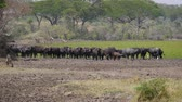 býložravec : Buffalo Stand On Trampled Shore Of Pond With Green Water In The African Savanna