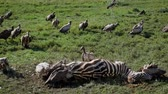 гриф : Vultures Eat Carrion From The Carcass Of A Dead Zebra In The African Plain