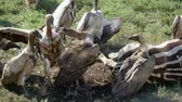гриф : Close Up Vultures Eat Meat From The Carcass Of A Dead Zebra In The African Plain