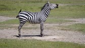 nevetés : Zebra Lying On The Dusty Ground Then Gets Up And Starts To Laugh Stock mozgókép
