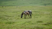 býložravec : Zebra With Baby Grazing Grass On The Plains In Africa Dostupné videozáznamy