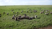 плоть : Vultures Eat Carrion From The Carcass Of A Dead Zebra In The African Grassland Стоковые видеозаписи