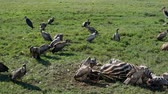 плоть : Vultures Eat Carrion From The Carcass Of A Killed Zebra In The African Plain Стоковые видеозаписи