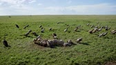 carcasse : Flock Of Vultures Eat Carrion From Carcass Of A Killed Zebra In African Plain Vidéos Libres De Droits