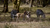 акация : Two Little Zebra Foals Frolic And Play In The Acacia Forest African Reserve