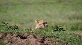 cheetah : Head Of Cheetah Looks Around From Shelter On Hill In Africa Plain Stock Footage