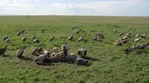 гриф : Flock Of Vultures Eat Meat From Carcass Of Killed Zebra In African Rift Valley