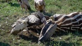 гриф : Close Up Vultures Eat Meat From Carcass Of Dead Zebra In African Savanna Стоковые видеозаписи
