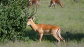 antilop : Male Impala Antelope With Huge Horns In African Savannah At Thickets Stok Video