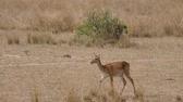 саванна : Female Antelope Impala Walk On African Plains In Dry Season With Dried Grass