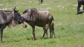 antilop : Wildebeest With Calf Grazing On A Green Plain In The African Savannah