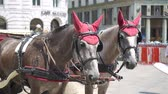 cascalho : Traditional horse coach Fiaker in Vienna Austria Stock Footage