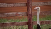 struś : Ostrich farm. Ostrich walks on a farm.