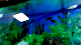 plavec : Fish float in an aquarium. Fish and green algae in the aquarium.