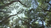 cedro : sun shines through the branches of the pines