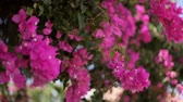 enrolamento : Beautiful winding liana with pink flowers against the blue sky. Bougainvillea