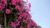 liána : Beautiful winding liana with pink flowers against the blue sky. Bougainvillea
