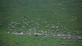 palouk : Sheep graze on a green slope high in the mountains