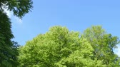 backlit : Nature Branches Full of Fresh Green Leaves low angle camera pan