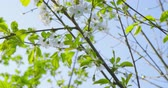 Springtime impressions - beautiful flowers and foliage of a cherry tree