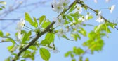 wild cherry : Springtime impressions - beautiful flowers and foliage of a cherry and a bumblebee Stock Footage