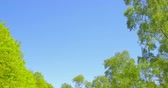 buk : Springtime impressions - beautiful trees with lush foliage against a blue sky .
