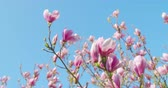 floração : Springtime impressions - beautiful magnolia flowers against a blue sky - camera pan - ProRes