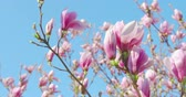 表示回数 : Springtime impressions - beautiful magnolia flowers against a blue sky - camera pan - ProRes