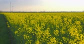 shallow depth field : Beautiful field of blooming rapeseed plants in front of a wind farm - ProRes