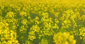 Beautiful rapeseed plants - camera pan - ProRes Стоковые видеозаписи