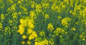 Beautiful blooming rapeseed plants, shot before sunset - camera pan - ProRes