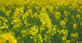 shallow depth of field : Beautiful blooming rapeseed plants - ProRes