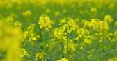 Beautiful blooming rapeseed plants - close-up - camera pan - ProRes
