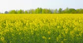 Beautiful field of blooming rapeseed just before sunset - ProRes