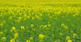 windenergie : A field of beautiful blooming rapeseed plants - camera pan - ProRes