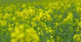 Beautiful blooming rapeseed plants - sequence - ProRes Vidéos Libres De Droits