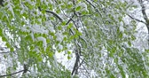 A sudden return of winter - snowy fresh foliage - camera pan - ProRes