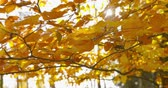 Autumn Impressions - beautiful backlit autumn leaves of a beech tree are swaying in the wind - camera pan - ProRes Стоковые видеозаписи