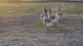 grup : geese walking outdoors in the sunset. Stok Video