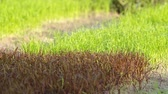 terraço : purple rice and ordinary rice seedling in the same paddy field with gentle wind Stock Footage