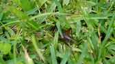 a cricket on the lawn is fast jumping away Стоковые видеозаписи